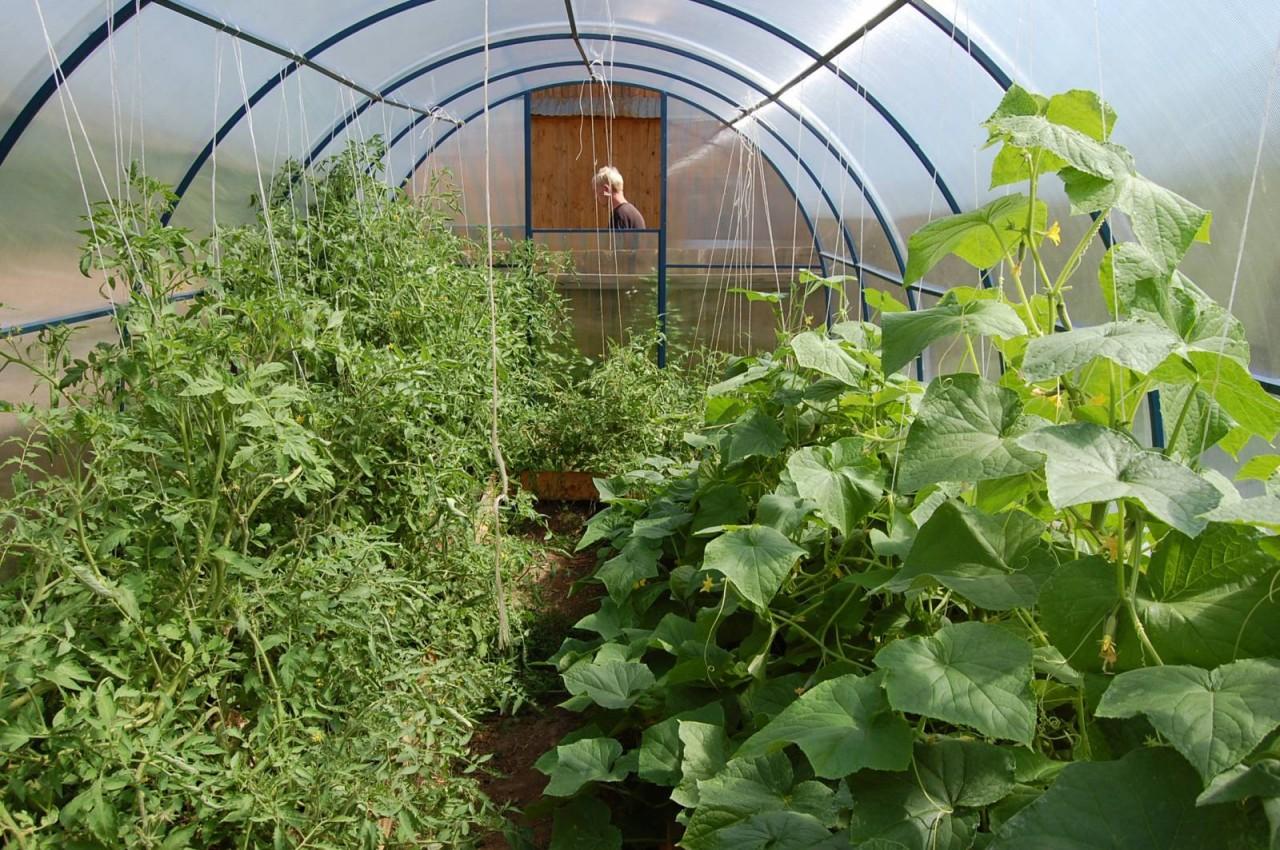 Помидоры и огурцы в одной теплице: как сажать рассаду и