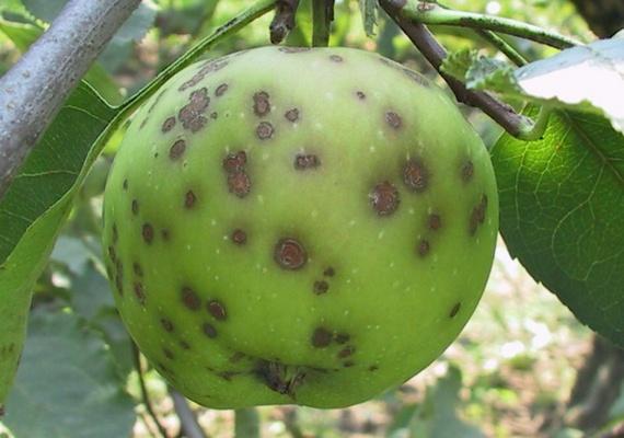 фото болезни яблонь
